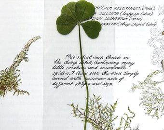 REAL Four Leaf Clover, Laminated 4-Leaf Clover Bookmark, Genuine White Clover, Keepsake Four Leaf Clover Bookmark