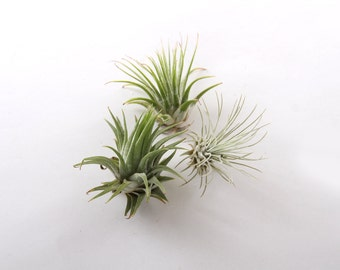 Air Plant 3 Pack - Free Shipping