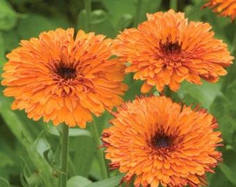 Calendula Pot Marigold  MEDICINAL Herb - Edible -