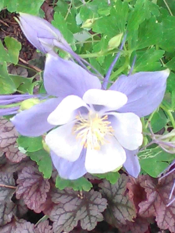 Aquilegia purple columbine flower seeds from dianashomegrownseeds aquilegia purple columbine flower seeds sold by dianashomegrownseeds 149 dhlflorist Gallery