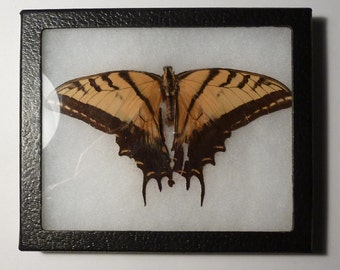 Tiger Swallowtail Butterfly Specimen - Mounted