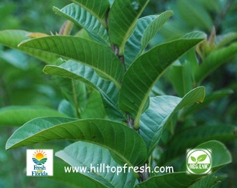 35 -Guava leaves Organic -Picked fresh before shipping