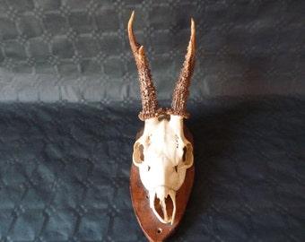 Deer hunting trophy