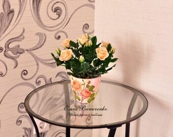 Peach shrub rose in pots