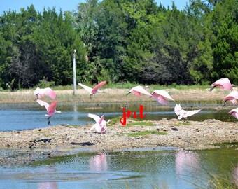 Pink birds in Flight (JMT16)