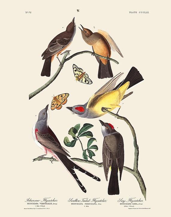 Audubon Bird Art Print, Arkansas Flycatcher, New Edition Print, Wall Decor, Natural History, Vintage Bird Illustration, Wall Art