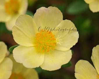 yellow flowers - yellow - Fine art print -