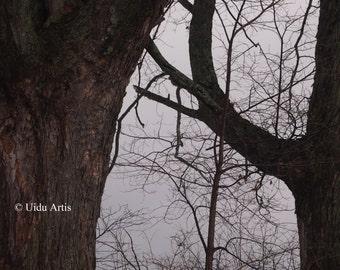 Framed by Oak, oak, oak tree, original art, upstate New York, countryside, tree, trees, forest, woods, snow, winter