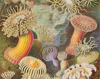 Sea Anemones, Ernst Haeckle Illustrated Print, 1800s, Wall Art, Giclee Print, Ocean, Sea Life, Corals, Beach, Colorful Print, Oceanography,