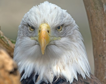 "18""x24"" Canvas Print - American Bald Eagle"