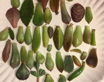 Succulent plant cuttings/assortment for propagation
