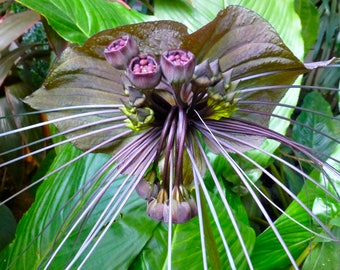 50  Seeds TACCA chantrieri Bat Flower, Cat's Whiskers, Devil Flower