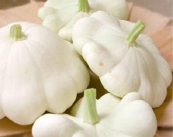 50 WHITE Bush SCALLOP SQUASH (Patty Pan / Paty Pan / Squanter Squash) Summer Cucurbita Pepo Vegetable Seeds