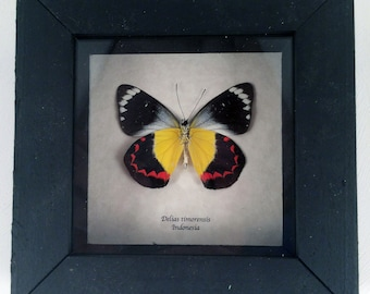 Real butterfly framed - Delias timorensis