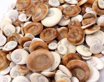 Shiva Eye Seashells Natural, DIY, Beach Project, Craft