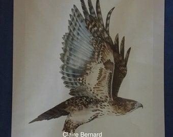 Print from an original watercolour painting - buzzard - fine art