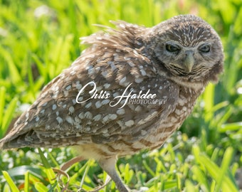 Burrowing Owl Picture, Cute Bird Photo, Wall Art, Brown Green Artwork