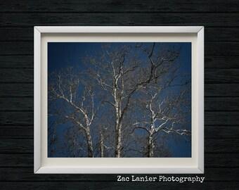 Harrisburg, Pennsylvania, White and Black Fall Birch Tree's, White Birch Tree, Blue Sky, White Birch Logs, Birch Bark, Birch Branches
