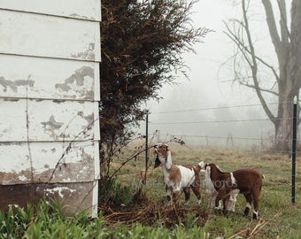Baby Goats Photograph, Farm Animal Photography, Rustic Home Decor