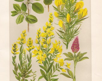 Vintage lithograph of gorse, german greenweed, alder buckthorn, dyer's broom, ornamental clover from 1911