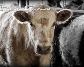 Flaxen - cow professional print
