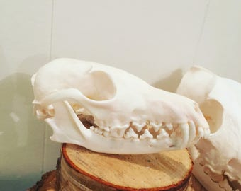 Skull Red Fox