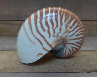 """4"""" - 5"""" Chambered Nautilus, 1 piece"""