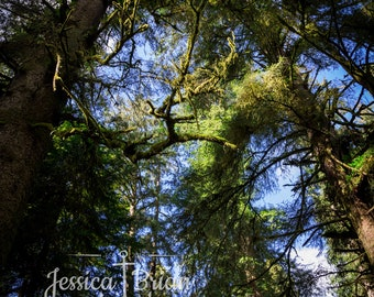 Photography print Redwood trees forest nature