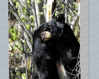 Bashful Black Bear Greeting Cards, Birthday Cards, Notecard, Bear Art, Bear Gifts, Blackbear Gifts, Blank Cards, Any day cards