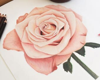 Peach/Pink Rose Drawing Print - Wall Art