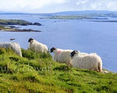 Painted Irish Sheep, Co. DONEGAL, Gaeltaght, IRELAND, Mountains and Sea, Irish Gift, Ireland Souvenir, Rugged Landscape, Green Hills, Enya