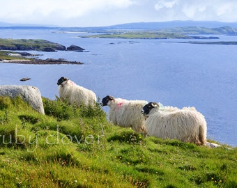 Painted Irish Sheep, Co. DONEGAL, Gaeltaght, IRELAND, Mountains and Sea, Irish Gift, Ireland Souvenir, Rugged Landscape, Green Hills, Enya