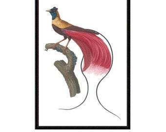 Red Bird of Paradise Antique Reproduction Zoological Print antique bird print vintage bird print bird print series bird illustration  art