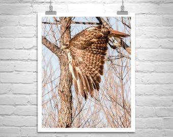 Hawk in Flight, Harris Hawk, Bird Photography, Bird Art, Hawk Print, Avian Art, Wildlife Photo, Nature Photography, Hawk Picture