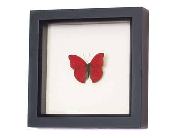 Real Sangria Butterfly Preserved in Shadowbox