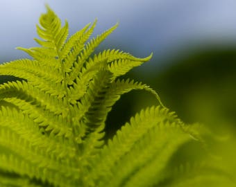 Green Fern Photo, Macro Photography, Spring Images, Green and Blue, Bokeh Photography, Home Decor, Nature Print