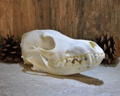 Exotic Real Beautiful Large Coyote Skull