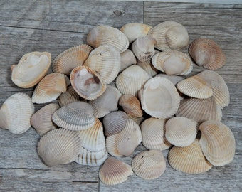 One Pound Assorted Natural Ark Clam Shells Mosaic/Craft Supplies