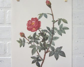 Redoutes Roses Book Page Plate Botanical Wall Art Burgundy Rosa Muscosa Anemone Flora Rose