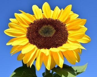 Single sunflower cross stitch pattern chart, modern cross stitch, colorful pattern, jpeg pattern, needlecraft pattern, flower chart, yellow
