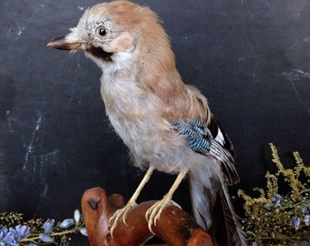 SALE Vintage Taxidermy Bird Young Jay Magpie