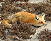 Red Fox photograph, Nature photography, Animal Wall Art, Orange and Brown, Wildlife Gifts for Him, Fox Print, Sand Dunes Coastal Wall Decor