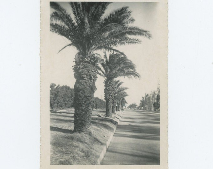 Vintage Snapshot Photo: Palm Trees, Route 66, 1950 (71543)