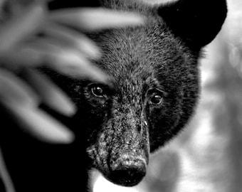 Bear, Black Bear, Nature photography, North Carolina, Wildlife Photography, Wall Art, Home Decor