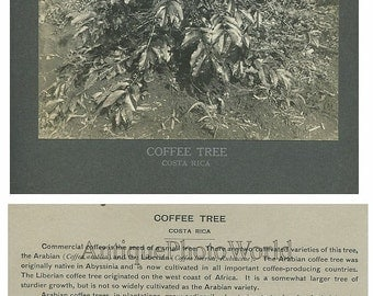 Costa Rica coffee tree antique photo
