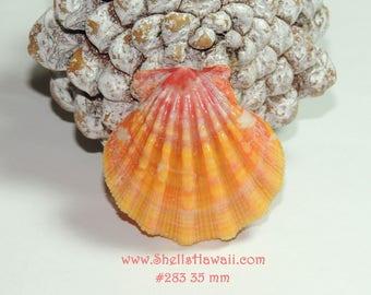 35 mm Hawaiian Sunrise shell #283