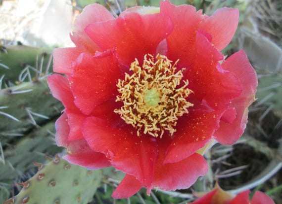 Winter Hardy Prickly Pear Opuntia Cactus Large Ruffled RED BLOOMS!!!