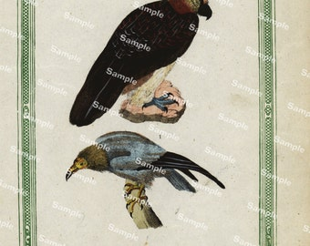 Natural History original hand colored print of Eagles over 150 years old Rare find