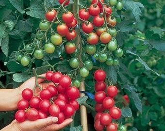 VTC) SWEET MILLION Cherry Tomato~Seeds!!!!!!~~~~~~Top of the Line for Sweetness!