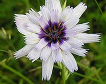 PBCA)~AMOR WHITE Cupid's Dart~Seeds!!~~~~~~~Stunning Catananche!